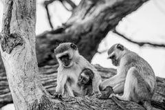 Vervet-Affefamilie, die in einem Baum sitzt Lizenzfreie Stockfotos