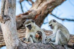 Vervet-Affefamilie, die in einem Baum sitzt Lizenzfreie Stockfotografie