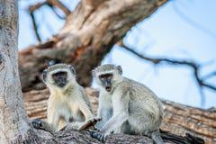 Vervet-Affefamilie, die in einem Baum sitzt Lizenzfreies Stockbild