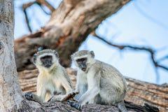 Vervet-Affefamilie, die in einem Baum sitzt Stockbild