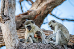 Vervet-Affefamilie, die in einem Baum sitzt Stockbilder