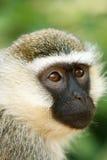 Vervet-Affegesicht im afrikanischen Dschungel Lizenzfreie Stockfotos
