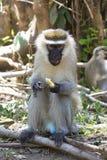 Vervet-Affemann, der aus den Grund sitzt und ein Stück von f isst Stockbilder