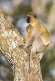 Vervet-Affemutter, die ihr Kind fest hält Lizenzfreies Stockbild