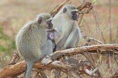 Vervet-Affen Stockbild