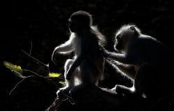 Vervet-Affen, die bei Sonnenuntergang sich pflegen stockfoto