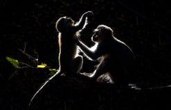Vervet-Affen, die mit schwarzem Hintergrund sich pflegen Stockbilder