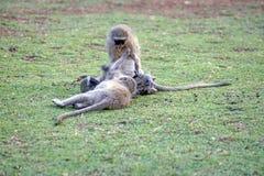 Vervet-Affen an einem Campingplatz Lizenzfreie Stockbilder