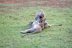 Vervet-Affen an einem Campingplatz Stockfoto