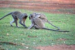 Vervet-Affen an einem Campingplatz Lizenzfreies Stockbild