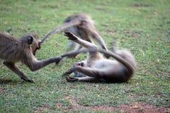 Vervet-Affen an einem Campingplatz Stockbild