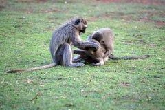 Vervet-Affen an einem Campingplatz Lizenzfreies Stockfoto