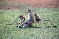 Vervet-Affen an einem Campingplatz Lizenzfreie Stockfotos