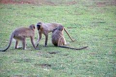 Vervet-Affen an einem Campingplatz Stockbilder