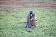 Vervet-Affen an einem Campingplatz Stockfotografie