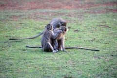 Vervet-Affen an einem Campingplatz Lizenzfreie Stockfotografie