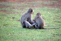 Vervet-Affen an einem Campingplatz Stockfotos