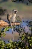 Vervet apa i den Kruger nationalparken Royaltyfri Bild
