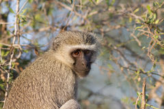 Vervet apa i träd i den Kruger nationalparken Arkivfoton