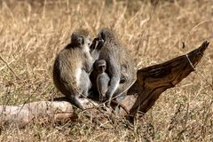 Vervet apa, Kenya, Afrika arkivfoton