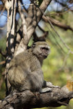 vervet de singe photos stock