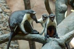 Vervet Diana della scimmia Monkeys la famiglia che si siede su un albero in ZOO Ostrava Due piccole scimmie con la mamma Immagine Stock