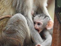 Vervet dziecka małpa Zdjęcie Stock