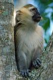 Vervet Fallhammer, der in einem Baum, Uganda sitzt Lizenzfreie Stockfotografie
