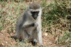 Vervet Fallhammer - Serengeti Safari, Afrika lizenzfreie stockfotos