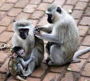 Vervet Family. Vervet monkey family photographed in Kruger National Park Stock Images