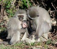 Vervet Affe-Familie Stockfotografie