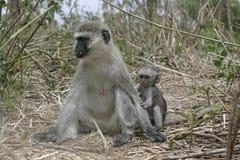 Vervet or Green monkey, Chlorocebus pygerythrus Stock Photography