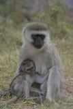 Vervet or Green monkey, Chlorocebus pygerythrus Royalty Free Stock Photos