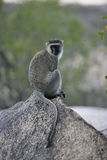 Vervet or Green monkey, Chlorocebus pygerythrus Stock Photography