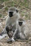 Vervet or Green monkey, Chlorocebus pygerythrus Stock Photo