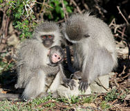 Vervet Monkey Family Stock Photography