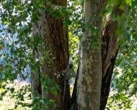 Vervet małpa związująca przeciw dwa drzewnym bagażnikom obrazy royalty free