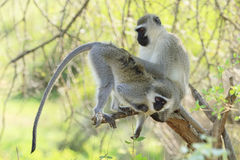 Vervet małp Przygotowywać Obraz Royalty Free