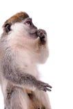 Vervet Małpa Zdjęcia Royalty Free
