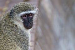Vervet małpa Obraca Swój głowę Obrazy Stock