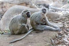 Vervet małpa, Południowa Afryka Fotografia Stock