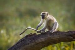 Vervet małpa w Mapungubwe parku narodowym, Południowa Afryka Zdjęcia Royalty Free