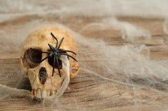Vervet małpy czaszka z wąż skórą zakrywającą w pajęczynach Fotografia Royalty Free
