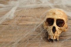 Vervet małpy czaszka zakrywająca z pajęczynami Obrazy Royalty Free