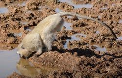 Vervet małpy Pić Zdjęcia Stock
