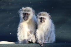 Vervet małpy dopatrywania otaczanie Zdjęcie Stock