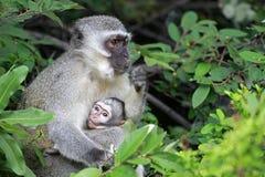 Vervet małpy dziecko Obraz Royalty Free
