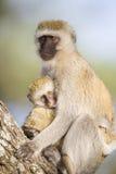 Vervet małpy matka trzyma jej niemowlaka ciasny Fotografia Royalty Free