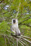 Vervet moneky. A vervet moneky in its natural habitat. Uganda Royalty Free Stock Photo