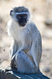 Vervet Monkey. Sitting next to the road in a wildlife park Stock Image